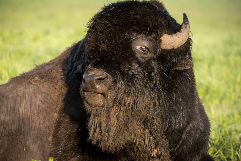 In anticipation of the arrival of baby bison at Fermilab in 2021, we're sharing some of our favorite bison photos from years past. In 2016, a bison on the Fermilab campus shows off its beard. bison Photo: Reidar Hahn