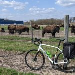"""Cyclist and Fermilab employee Dan Bollinger says he couldn't resist snapping a photo of the bison on his afternoon commute on April 6. """"I've been at the lab for over 30 years, driving by them day in and day out, never stopping to take a pic,"""" he says. Meanwhile, the bison take in a spring day on the Fermilab campus. bicycle, bison, campus, spring Photo: Dan Bollinger"""
