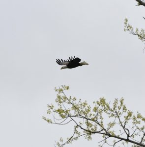 One of two bald eagles located by the Kautz Road Substation soars above campus against a gray sky in April 2021. A single tree branch with some bright green leaves projects from the bottom right corner. nature, bald eagle, bird Photo: Efrain Cortez