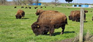 Behind a wire fence, bison (one closeup, some in midground, many far in the background) graze on green grass in front of blue buildings on a blue-sky day.
