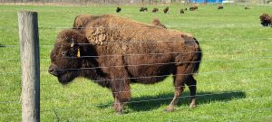 A bison with its eyes shut in profile behind a wire fence in green grass. Herd in the background.