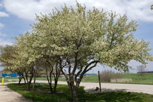 Five smallish trees, maybe bradford pear, bloom white blossoms against pale green leaves in a grassy median on a road. In the background, blue buildings, a concrete building, and blue sky.