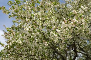 Close up, skyward, of branches filled with white, popcorn-like blossoms a few pinkish berries or buds, and light green leaves. Blue sky.