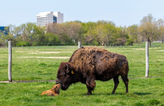 First baby bison