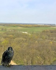 In the foreground, a speckled white and dark brown or black bird of prey staring directly into the camera on a ledge. In the background, water, a woodlands, a field of grass, another woodlands and blue skies. In the distance, buildings.