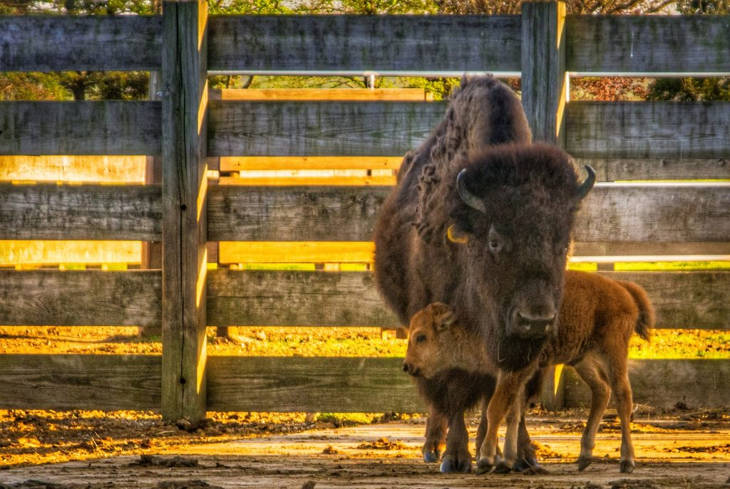 A roan baby bison stands perpendicular under the neck of a large brown bison, who faces the camera almost directly. The baby is snuggling. In the midground, a wooden fence. The photo is soaked in golden light.