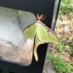 A large winged insect with yellow feathery antennae, fuschia legs and green and plum-colored wings sets on a black wooden structure. Beneath, roots and woodland plants.
