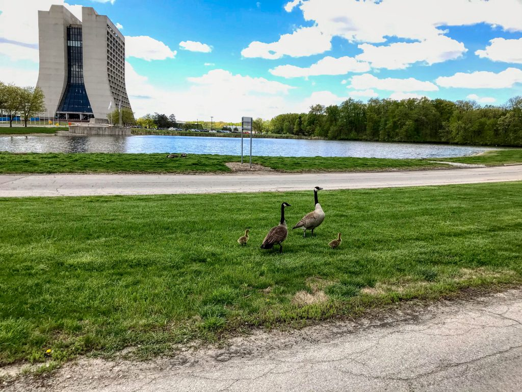 Two adult Canada geese and two fuzzy goslings stand together on a grass median in front of the pool in front of Wilson Hall, which stands in the background left. Blue skies and white clouds above.
