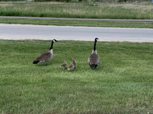 Two adult Canada geese flank three goslings in green grass headed toward a road. They all face away from the camera.