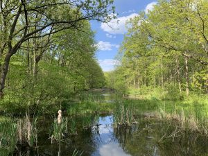 A creek with clouds reflected in it divides banks covered in trees with yellow-green leaves. Blue skies with white clouds above, grasses in the creek itself.
