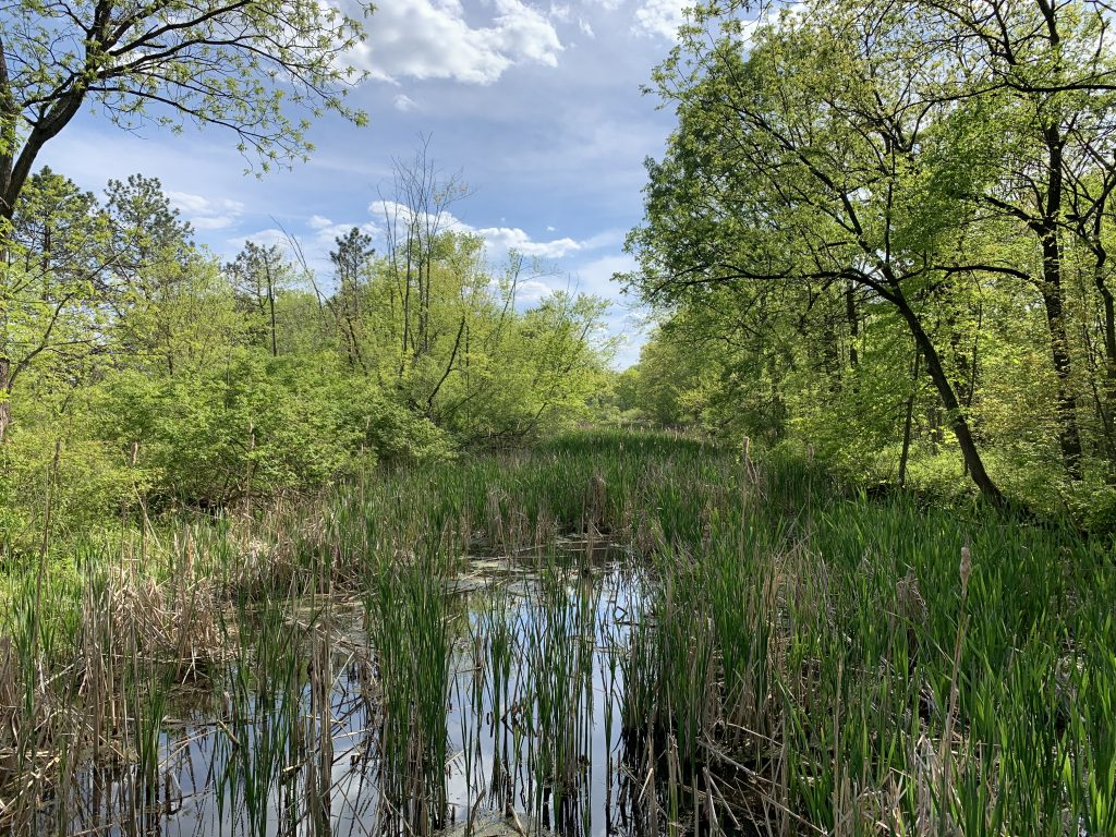 Wetland filled with grasses, trees with yellow-green leaves lean in from the sides of the photo. Blue skies above with white clouds.