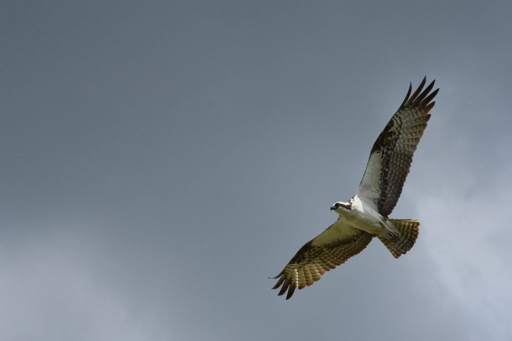 In this photo, an osprey soars, full wingspan in a gray sky. The detail on the wing is so clear, it's visible that the outermost feathers on the wings are curling.