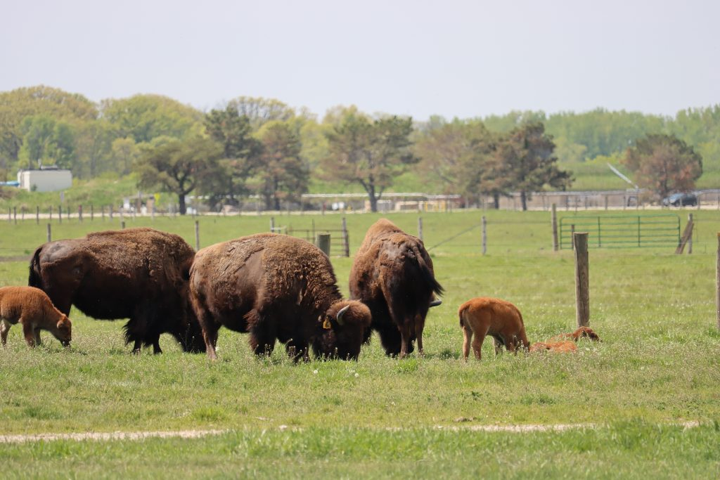 Three adult bison graze on grass. Two calves flank them, also grazing. Two more calves to the right of the herd lie in the grass. Behind them, fence posts, metal fencing, trees and some buildings.