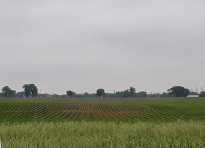 Evenly spaced green rows of a crop on a field that takes up width of photo, gray sky above, taller grasses bordering the bottom edge of the photo.