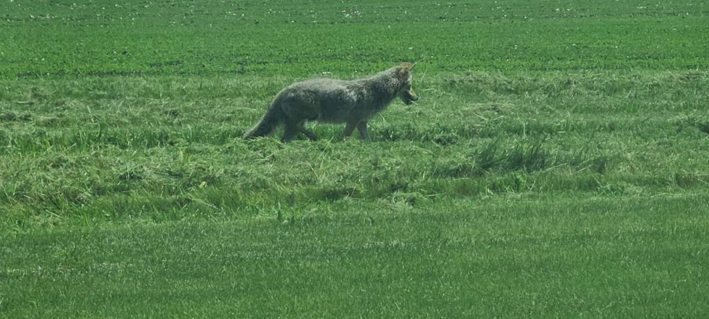 Gray coyote looking ahead and downward in field of grass.