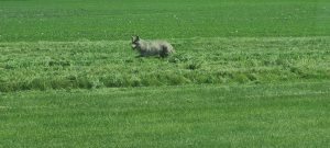 A gray coyote jaunting through a large sea of green grass. The coyote appears to be in the taller portion of grass, in a strip running horizontally through the middle of the photo.