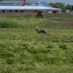 In a swath of green grass, a gray coyote stands, ears perked. Behind it, a large orange and black tractor/riding mower and a blue, red and white building. To the left, the grass is taller.