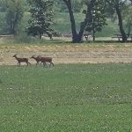 Three deer in a field of green grass with tan grass behind them. Behind that, trees, picnic benches and water.