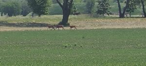 Same three deer a little separated rather than neck and neck.