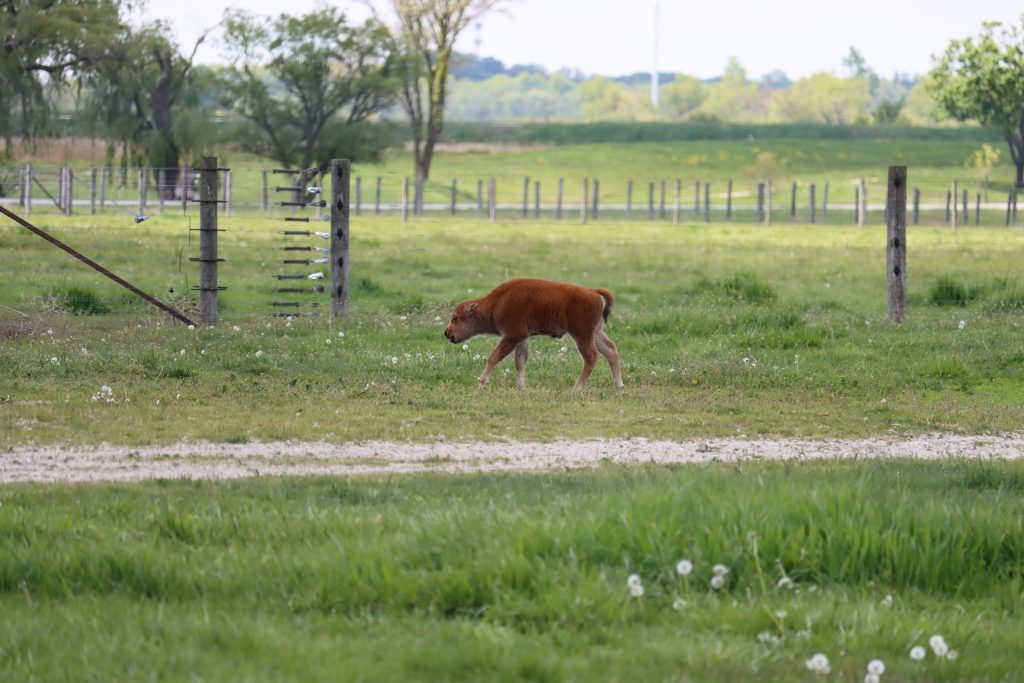 Baby bison in midground in a field of green and dandelions with a gravel path running through it. Wood and wire fencing in background.