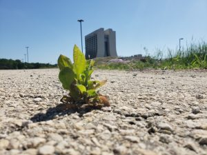 A bright green weed with rounded leaves sprouts from asphalt. Streetlights, prairie and a 16-story concrete building are in the background. Blue sky behind.