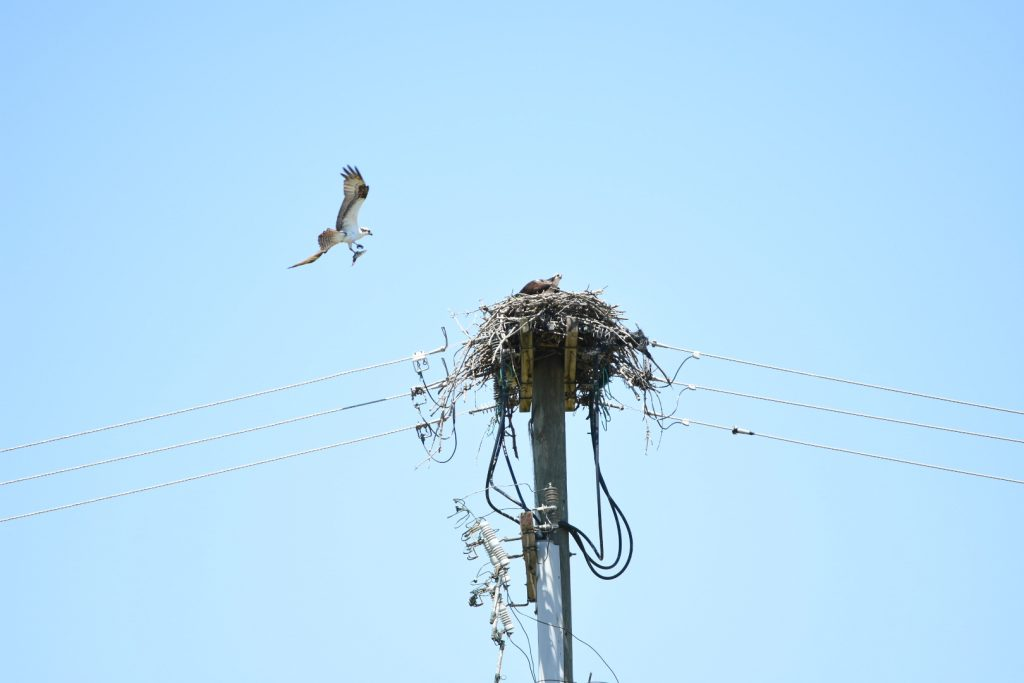 Photo of osprey flying to nest atop electrical pole, blue sky behind. Another osprey sits in the nest.