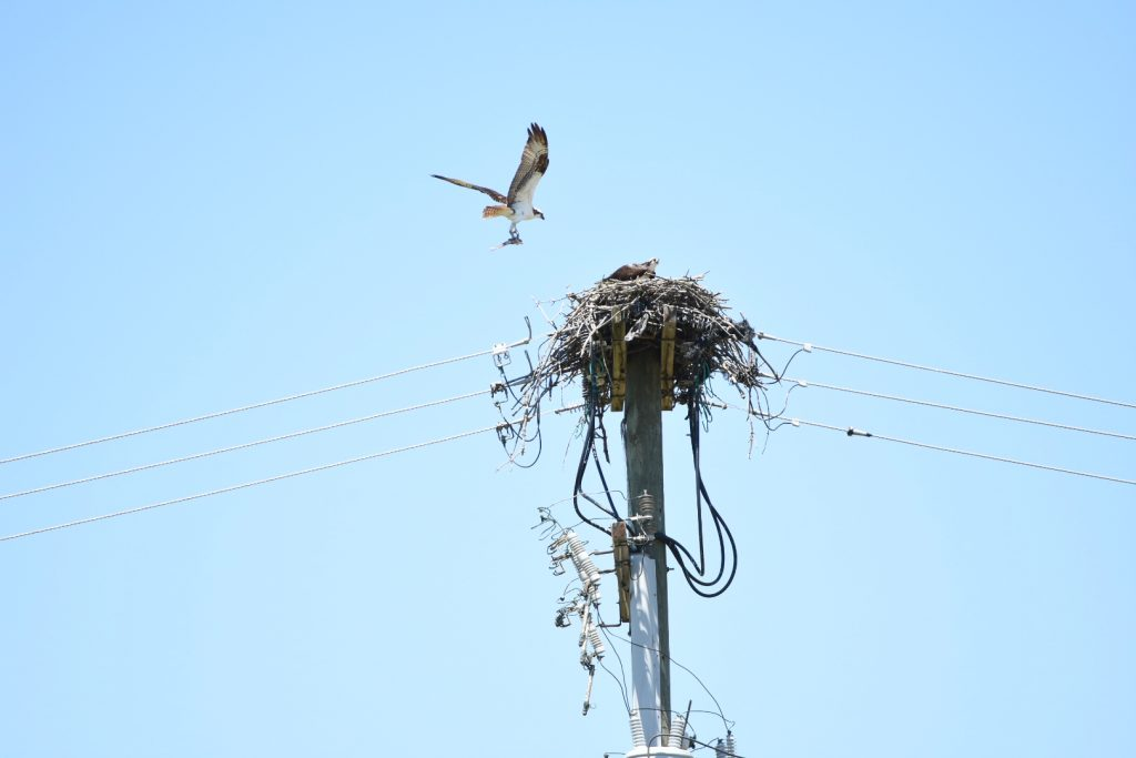 The osprey bringing food closer to the nest now.