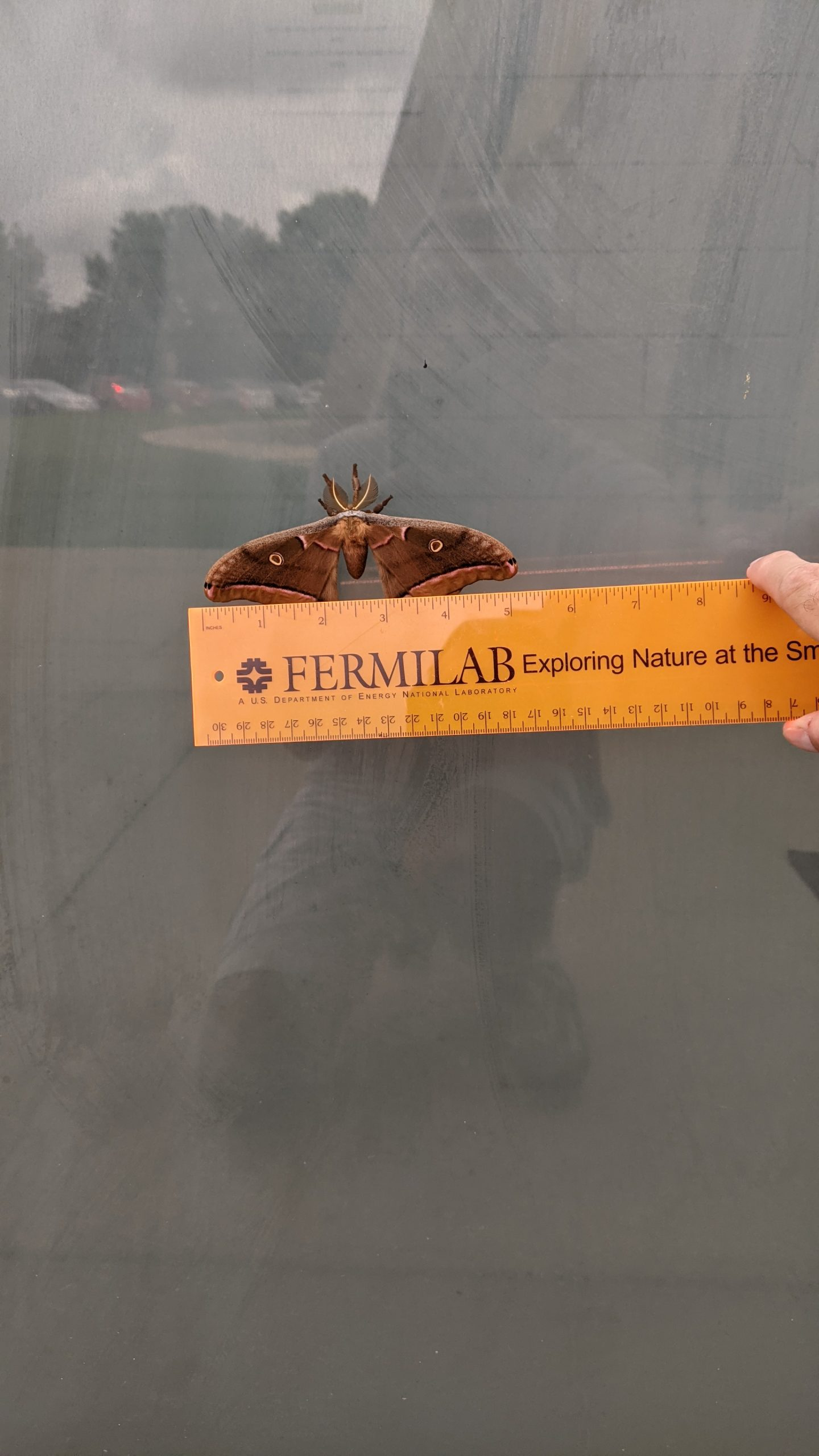 The same moth, from a further distance, with a yellow ruler that reads Fermilab. Reflections of cars and light on the building. The ruler reads the wingspan at about 5 inches.