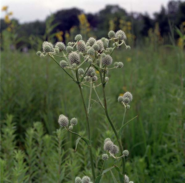 A tall plant with an open habit and white-ish egg-shaped thistles in front of a field of green.