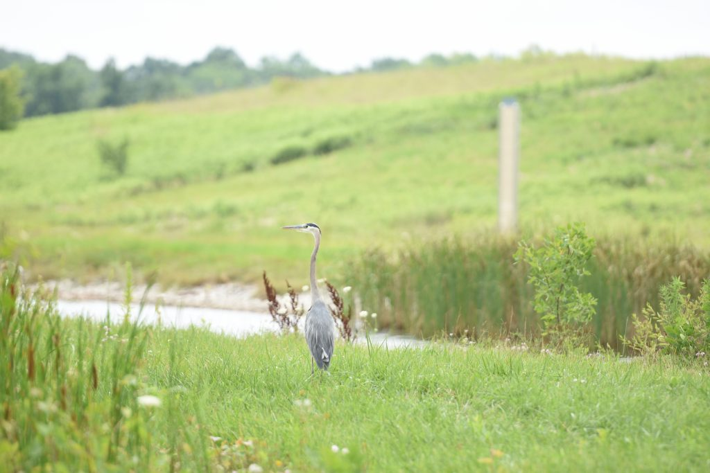 Photo of a heron from behind. It looks to the left. It stands in green grass at the edge of an embankment.
