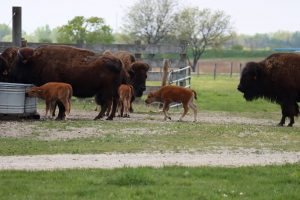 Three adult and three baby bison stand near a fence and water tank in the midst of green fields.