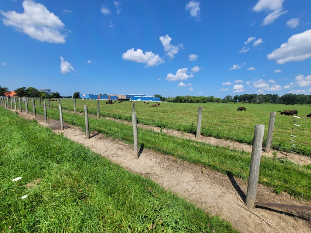 A wide shot of bison on a green field behind two rows of wood and wire fence. A blue building and treeline in the background, blue skies above.