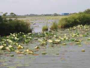 Lily pads at Fermilab