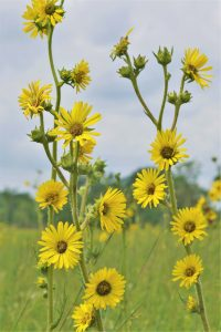 A tall plant with many yellow flowers. Green grass and sky in background.