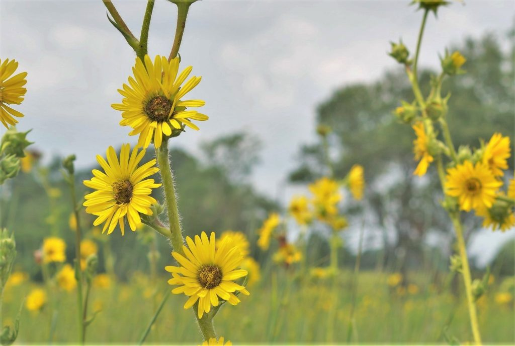 Close-up of plant with many yellow flowers, green grass and trees in background.