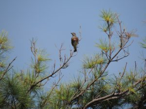 A bird at the end of a limb on a tree with needles in front of a blue sky.