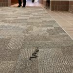 A snake in the foreground makes its way down a carpeted hallway. People's shoes are visible in the background.