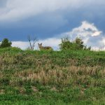 A coyote stares directly into the camera from above on a green hill. Behind it, blue sky.